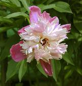 Peonia rosa e bianco — Foto Stock