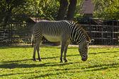 In piedi zebra — Foto Stock