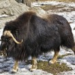 Musk-ox — Stock Photo #10732071