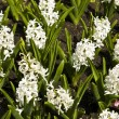 White hyacinth — Stockfoto #10733578