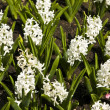 White hyacinth — Stock fotografie #10733578