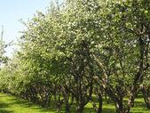 ブロッサムのリンゴ園 — ストック写真