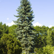 Stock Photo: Big blue spruce tree