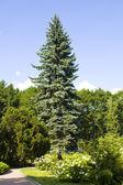 Big blue spruce tree — Stock Photo