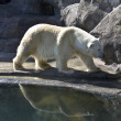 White bear — Stock Photo #9850900