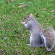 Funny squirrel eating nuts. — Foto de Stock