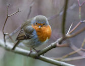 Robin resting on the tree. — Stock Photo