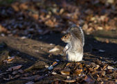Funny squirrel eating nuts. — Stock Photo