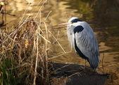Cinza herron descansando na margem do rio. — Fotografia Stock
