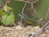 European Green Lizard, Lacerta viridis — Photo