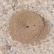 Sand anthill, active nest with ants - Stock Photo