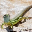 Stock Photo: EuropeGreen Lizard, Lacertviridis