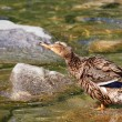 Mallard duck on lake, Anas platyrhynchos - Foto de Stock