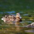 Mallard duck on lake, Anas platyrhynchos - Stockfoto