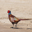 Stock Photo: Common Pheasant, Phasianus colchicus
