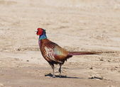 Common Pheasant, Phasianus colchicus — Stock Photo