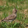 Crested Lark, Galerida cristata - Photo