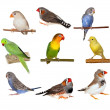 Set pets, Lovebirds, Yellow canary, Zebra Finch, Budgerigar — Stock Photo