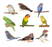 Set pets, Lovebirds, Yellow canary, Zebra Finch, Budgerigar — Stock Photo