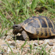 Stock Photo: Hermann's Tortoise, turtle in grass, testudo hermanni