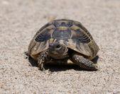 Hermann's Tortoise, turtle on sand, testudo hermanni — Stock Photo