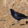 Stock Photo: Rook (Corvus Frugilegus)