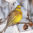 Yellowhammer on branch, Emberizcitrinella — Stock Photo #8737489