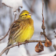 Stock Photo: Yellowhammer on branch, Emberizcitrinella