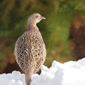Common Pheasant female, Phasianus colchicus — Stock Photo