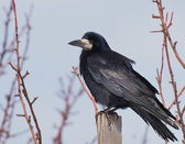 Rook (Corvus Frugilegus) — Stock Photo