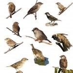 Set Sparrow , isolated on white background — Stock Photo #9606161