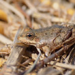Marsh Frog, Rana ridibunda — Stock Photo