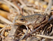 Marsh Frog, Rana ridibunda — 图库照片