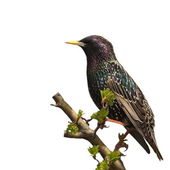 Starling on branch isolated on white background — Stock Photo