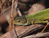 European Green Lizard, Lacerta viridis — Stock Photo