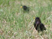 Common Starling on green grass, Sturnus vulgaris — Stock Photo