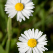 Two daisy flowers — Stock Photo #10385381