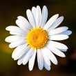 Closeup of a beautiful Daisy flower — Stock Photo