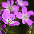 Beautiful purple Wood Cranesbill flowers — Stock Photo