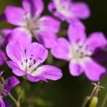 Beautiful purple Wood Cranesbill flowers — Stock Photo
