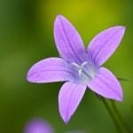 Beautiful purple Wood Cranesbill flower — Stock Photo
