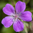 Wood Cranesbill or Woodland Geranium flower — Stock Photo #10386204