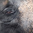 Elephant close-up portrait - Stock Photo