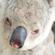 Closeup portraits of a koala — Stock Photo