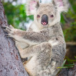 Portrait of a wild  Koala sitting in a tree - Stock Photo