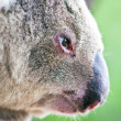 Stock Photo: Close-up profile portrait of wild koala