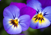 Two beautiful pansy flowers — Stock Photo