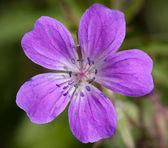 Wood Cranesbill or Woodland Geranium flower — Stock Photo
