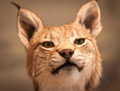 Close-up portrait of Lynx — Stock Photo