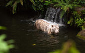 White or bengal tiger in water — Stock Photo